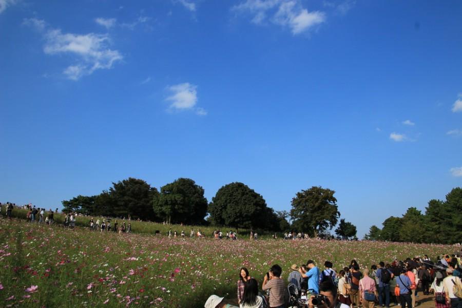 昭和記念公園のコスモス-Japan Nomad (1)