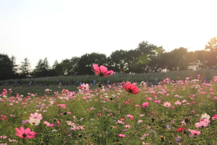 昭和記念公園のコスモス-Japan Nomad (6)