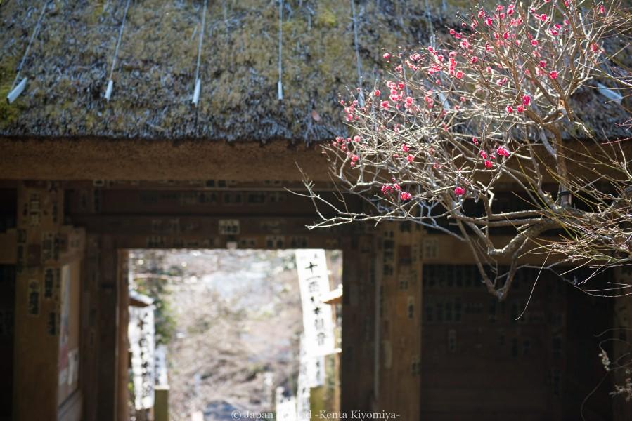 鎌倉梅散策-Japan Nomad (29)