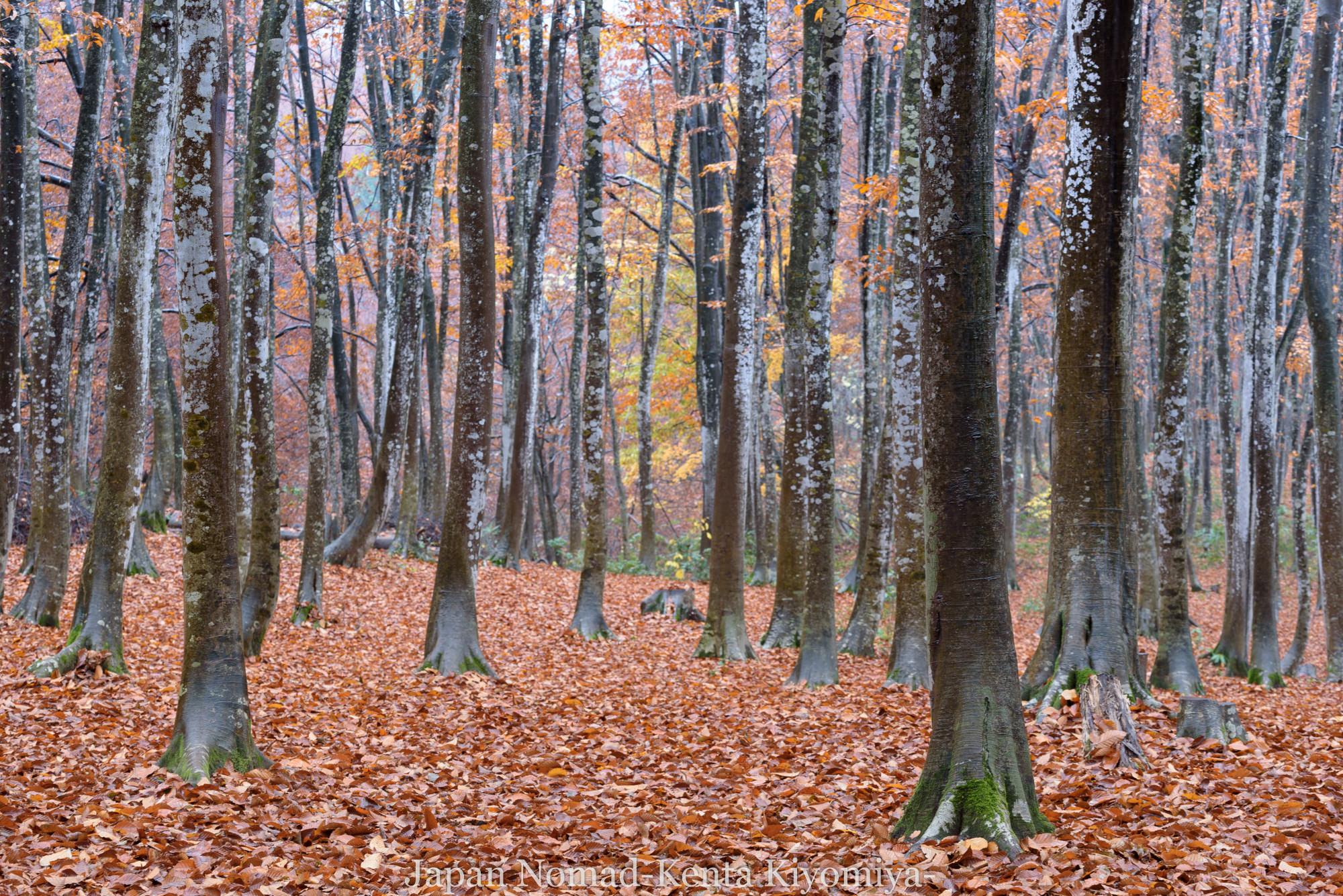 【旅140日目】十日町の絶景、紅葉のカーペットに立つ晩秋の美人林