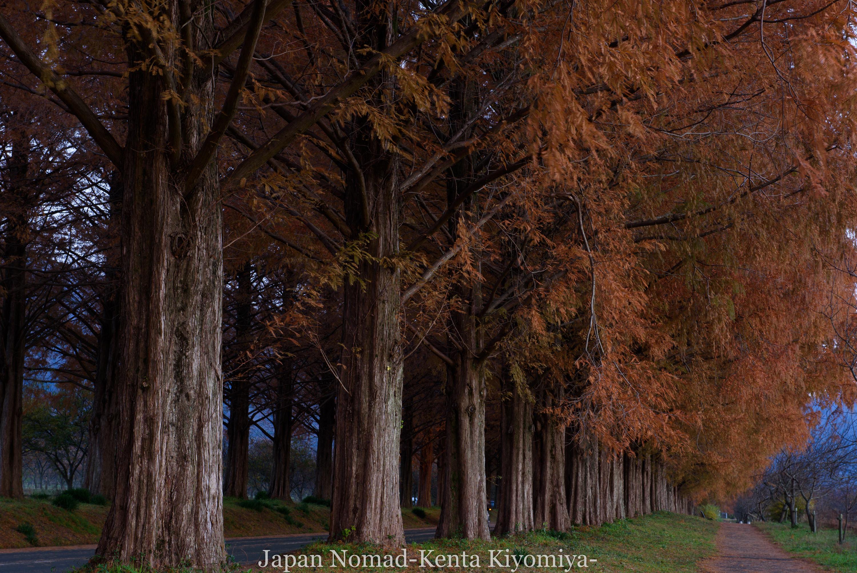 【旅156日目】滋賀県マキノの絶景!紅葉が見頃の「メタセコイア並木」を撮ってきた!