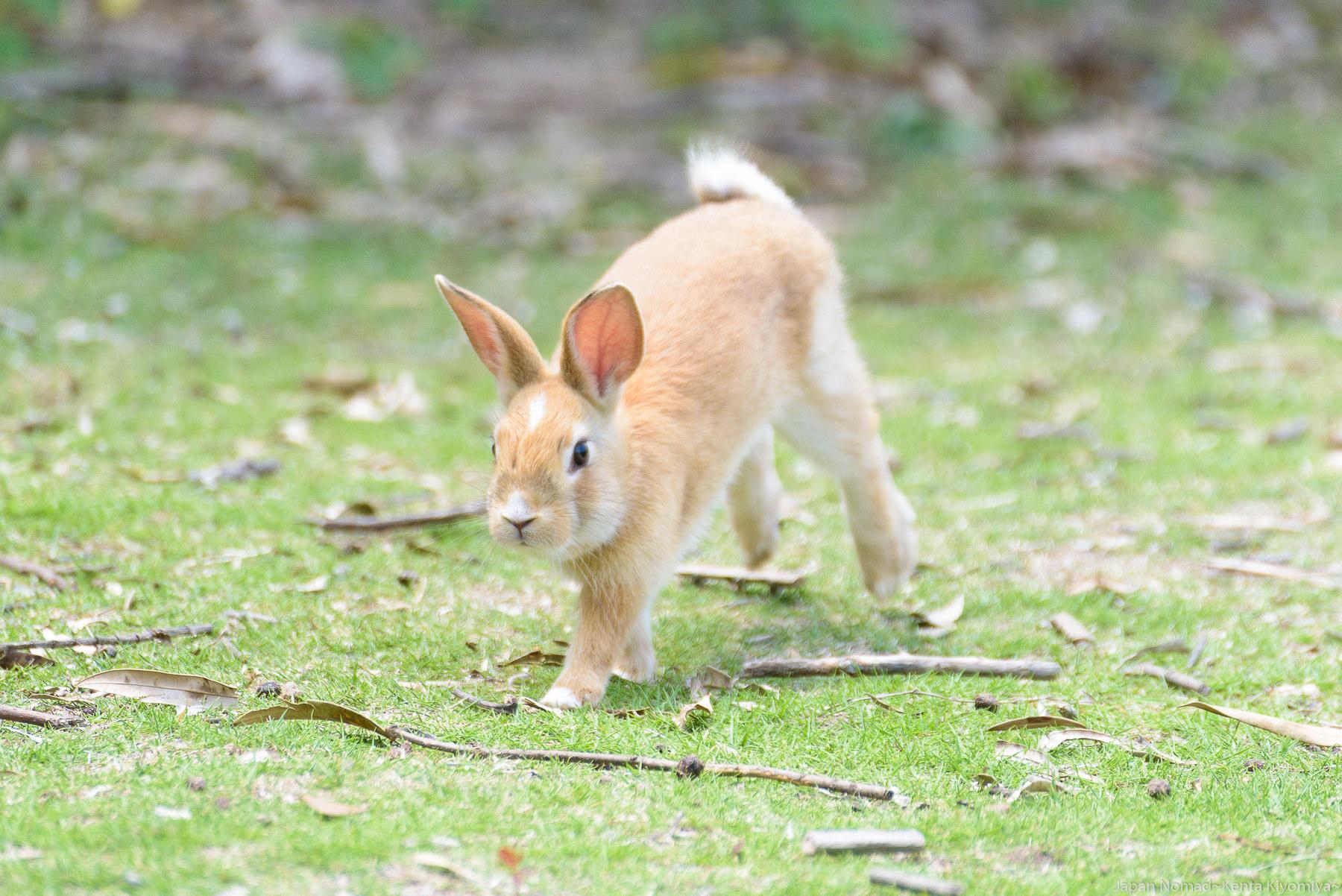 【旅244日目】大久野島で700羽の野生ウサギに囲まれてキュン死にしてきた
